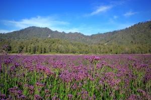 Padang Lavender Semeru